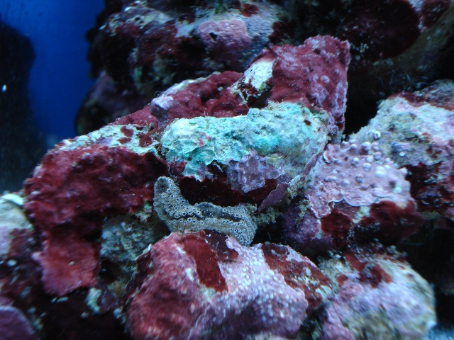 Coralline Reef Cleaners